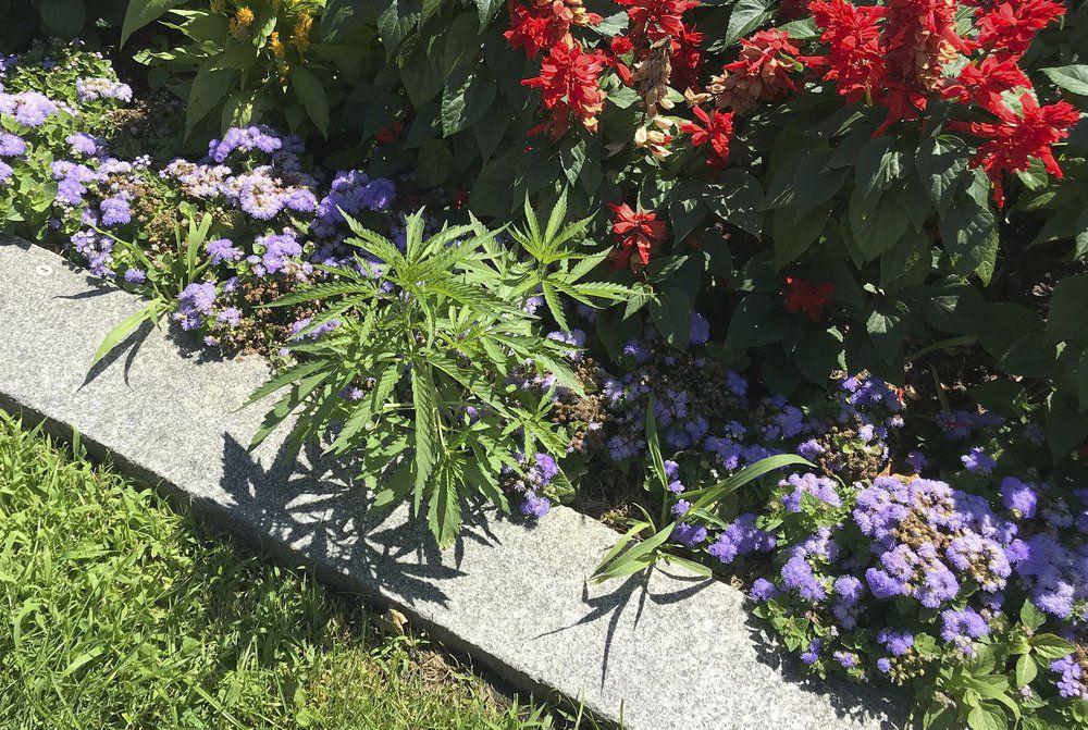VERMONT STATEHOUSE - MARIJUANA FLOWER BED 7-12-19 1.jpeg