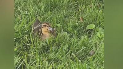 Local pet duck eats cicadas (2).jpeg