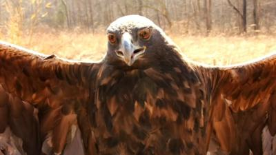 Harper the Golden Eagle spends winter months at Bernheim Forest