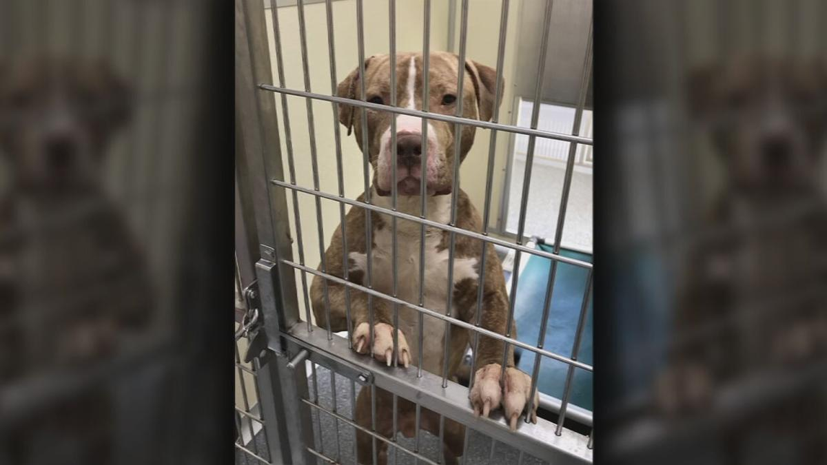 One of the three pit bulls that attacked David Weaver at Shawnee Park