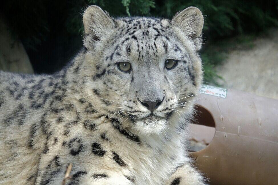 Meru, the Louisville Zoo's snow leopard