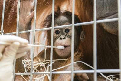 Padma the orangutan via AP