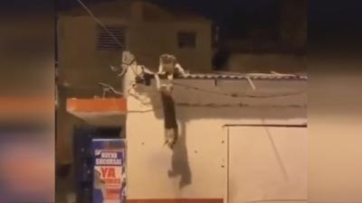 Cats re-enact Lion King scene