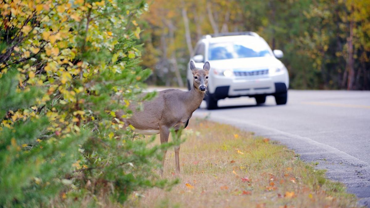 Deer on Side of Road