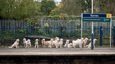 Golden Retrievers Waiting for Train