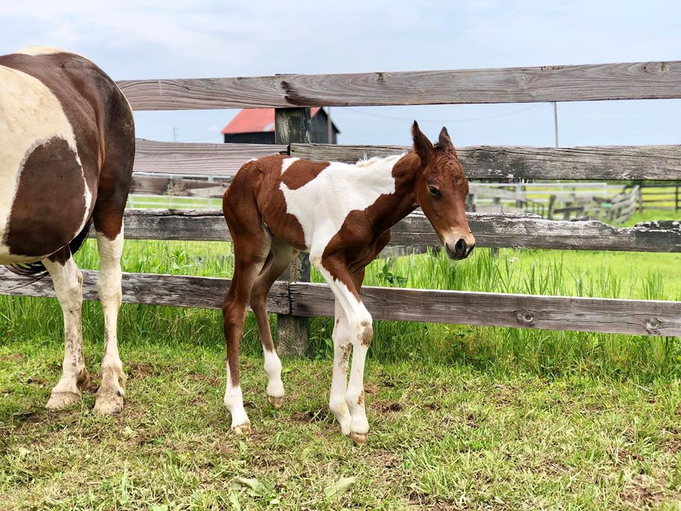 As-yet unnamed colt birthed by Hope, horse rescued from eastern Kentucky