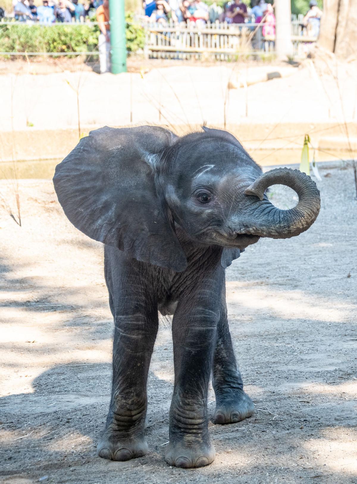 Baby elephant co Louisville zoo 1.jpg