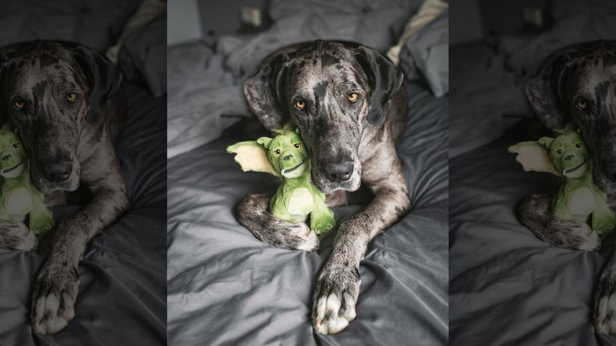 Elliott Mae the Great Dane with beloved stuffed toy