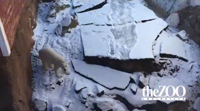Qannik the polar bear (Louisville Zoo)