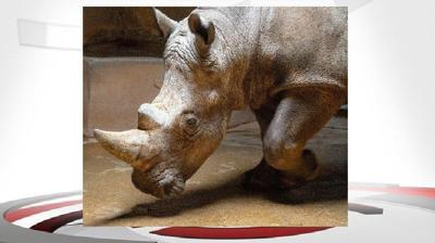 'Letterman' the white rhino is the newest resident of the Louisville Zoo