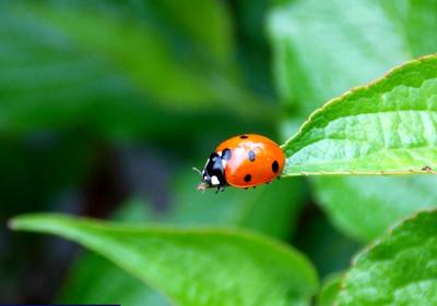 Ladybug Invasion: Sign of Harsh Winter?