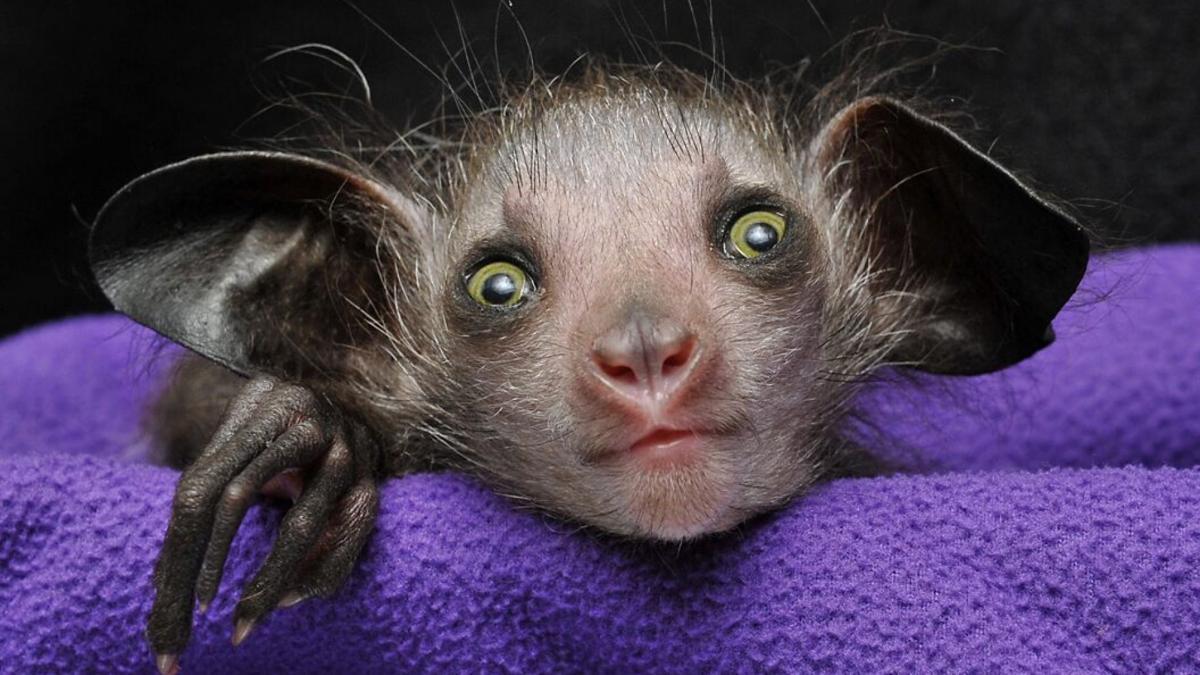 'Omen of Evil' baby aye-aye born in North Carolina | News ...