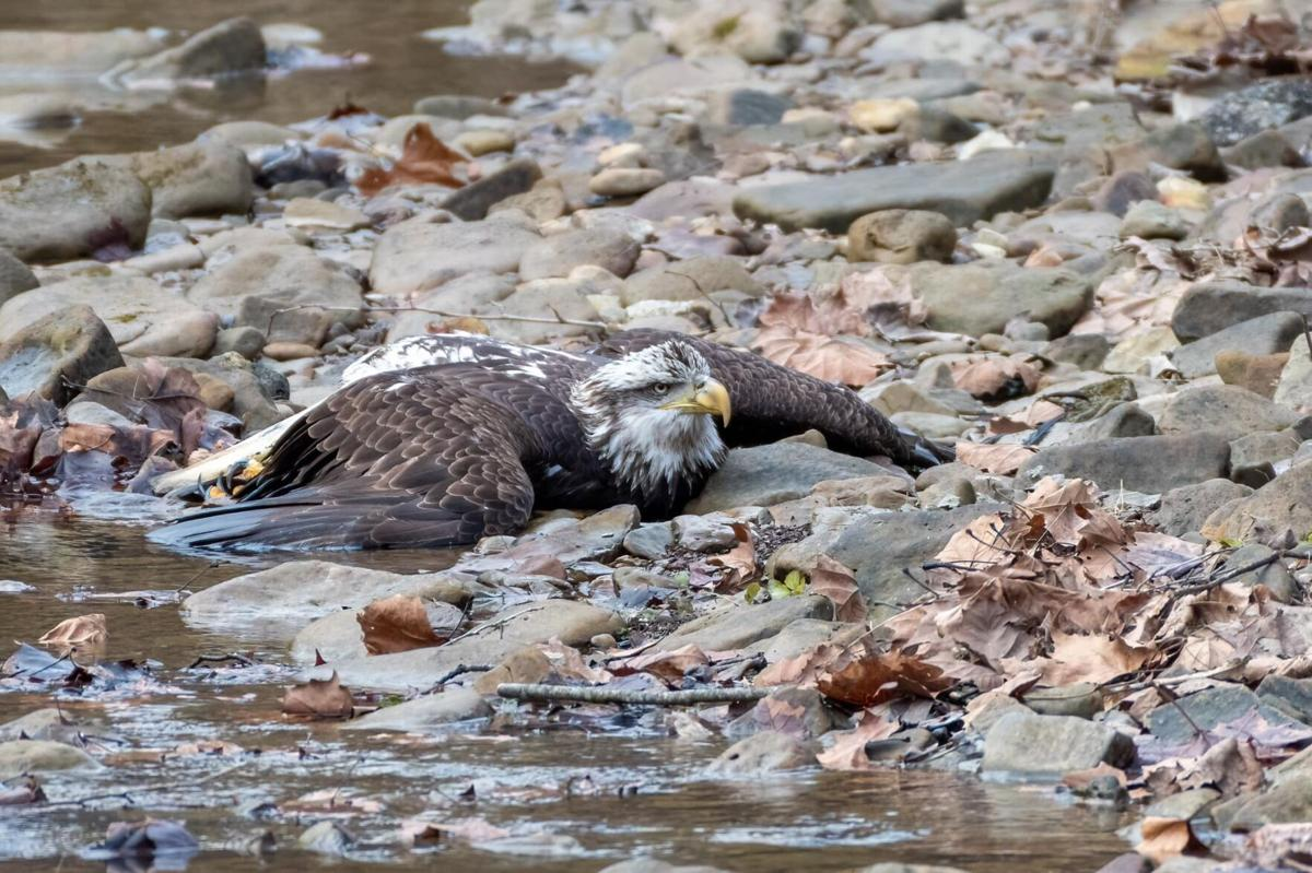 Bald Eagle found at Bernheim Forest on Dec. 30, 2020