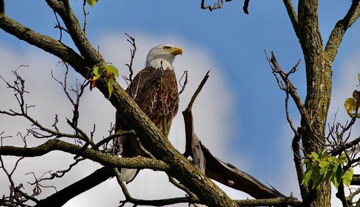 Bald eagle seen at GE Appliance Park