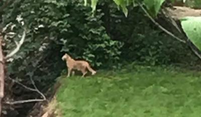 SPOTTED: Ky. officials warn of 'credible' sightings of 'large feline' in Jefferson Co.