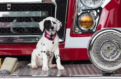 Oreo the Dalmation is the newest member of the Bardstown Fire Department