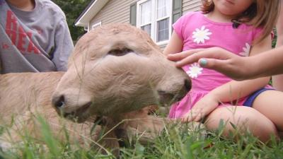 Two-faced Kentucky calf makes people do a double-take
