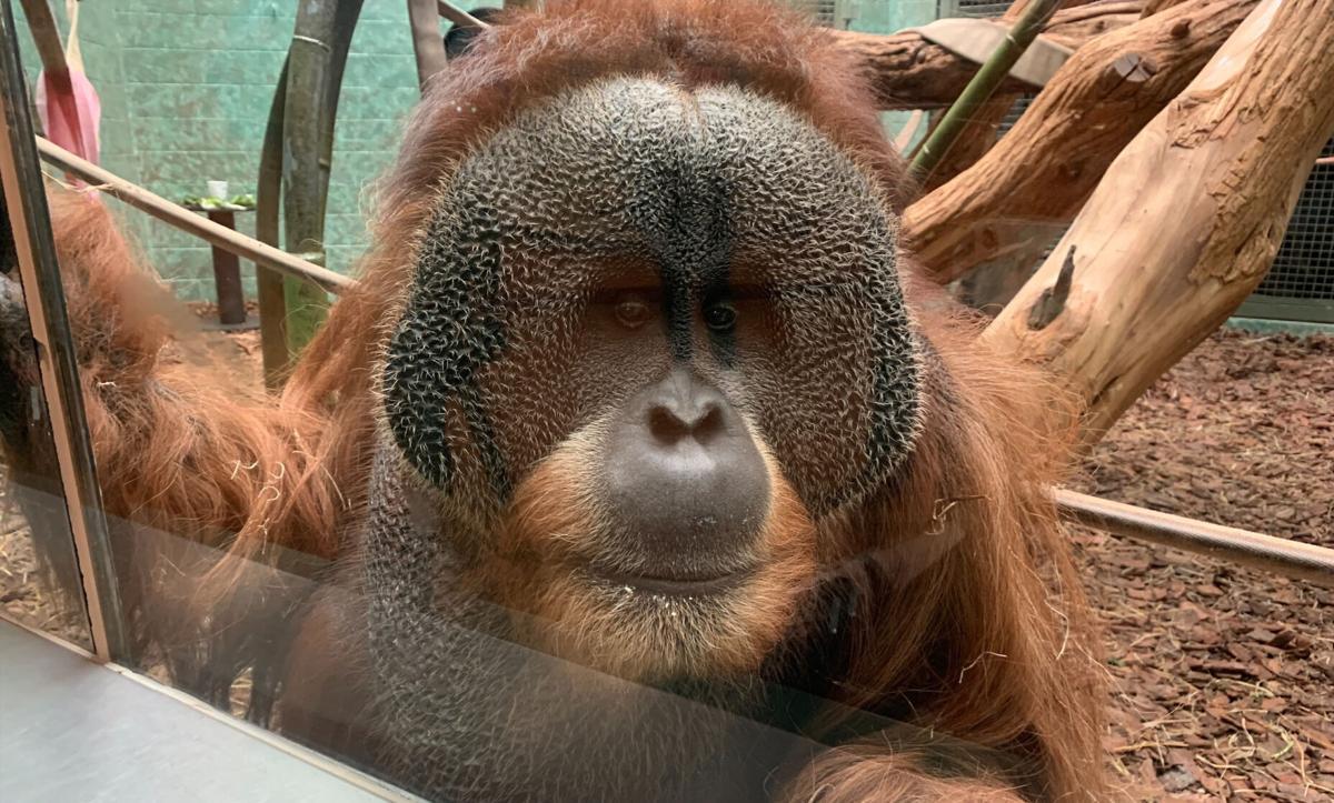 Teak the orangutan at the Louisville Zoo