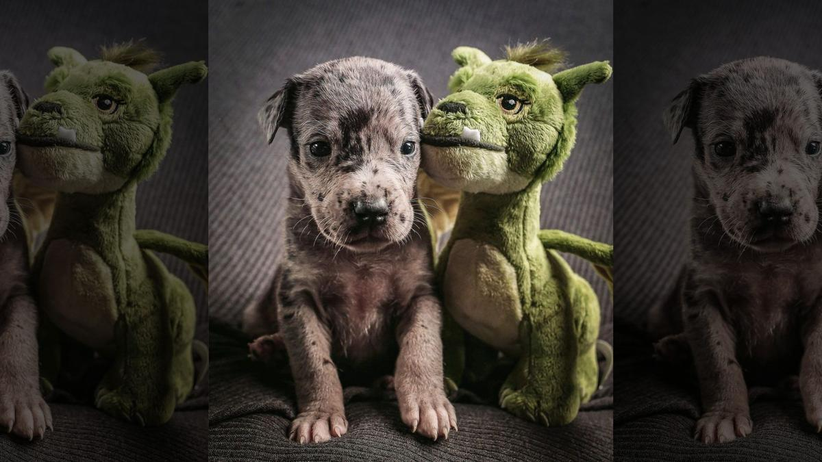 Great Dane Pup with stuffed toy