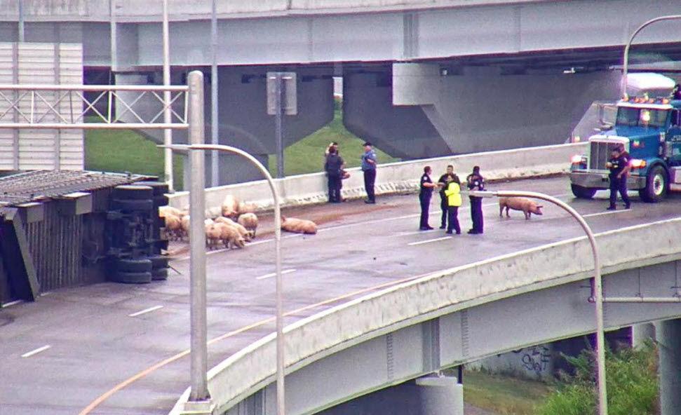 Pigs on Interstate