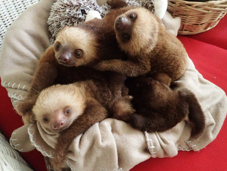 Christmas At The Zoo Indianapolis 2019.Images 6 Sloths Brought To Indianapolis Zoo From Panama
