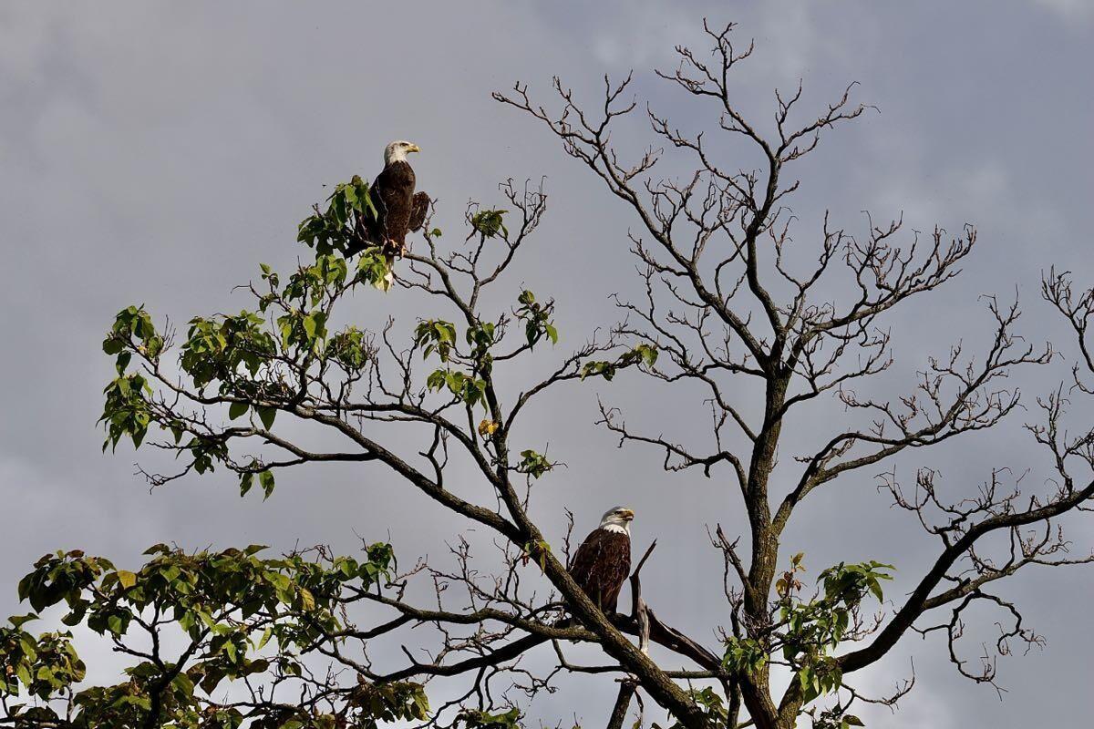 Bald eagles seen at GE Appliance Park