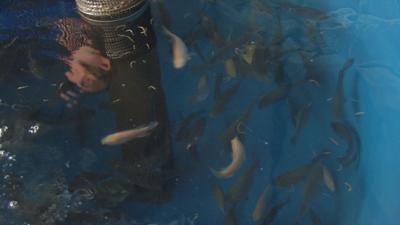 River City Aquaponics tank of fish
