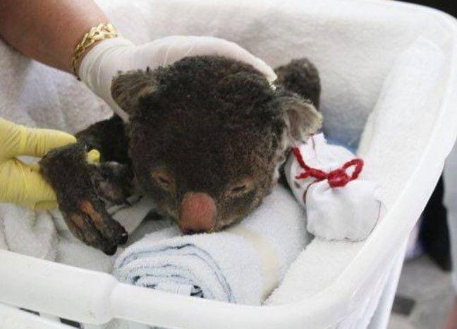 Injured Koala via Ky. Down Under.jpg
