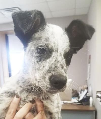 - City of Seymour, Missouri - Puppy found