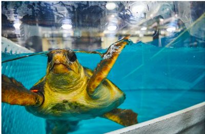 - No Room at the Inn: Rescued Sea turtles flown to land-locked Missouri for Christmas miracle