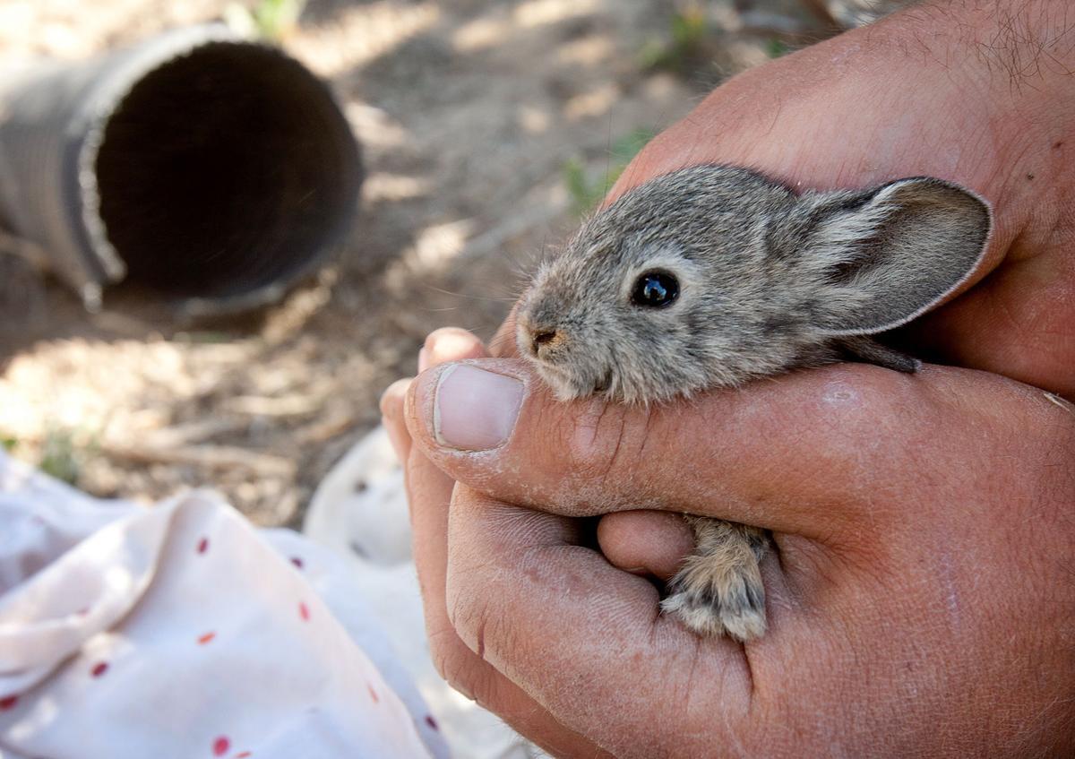 The plight of the pygmy rabbit