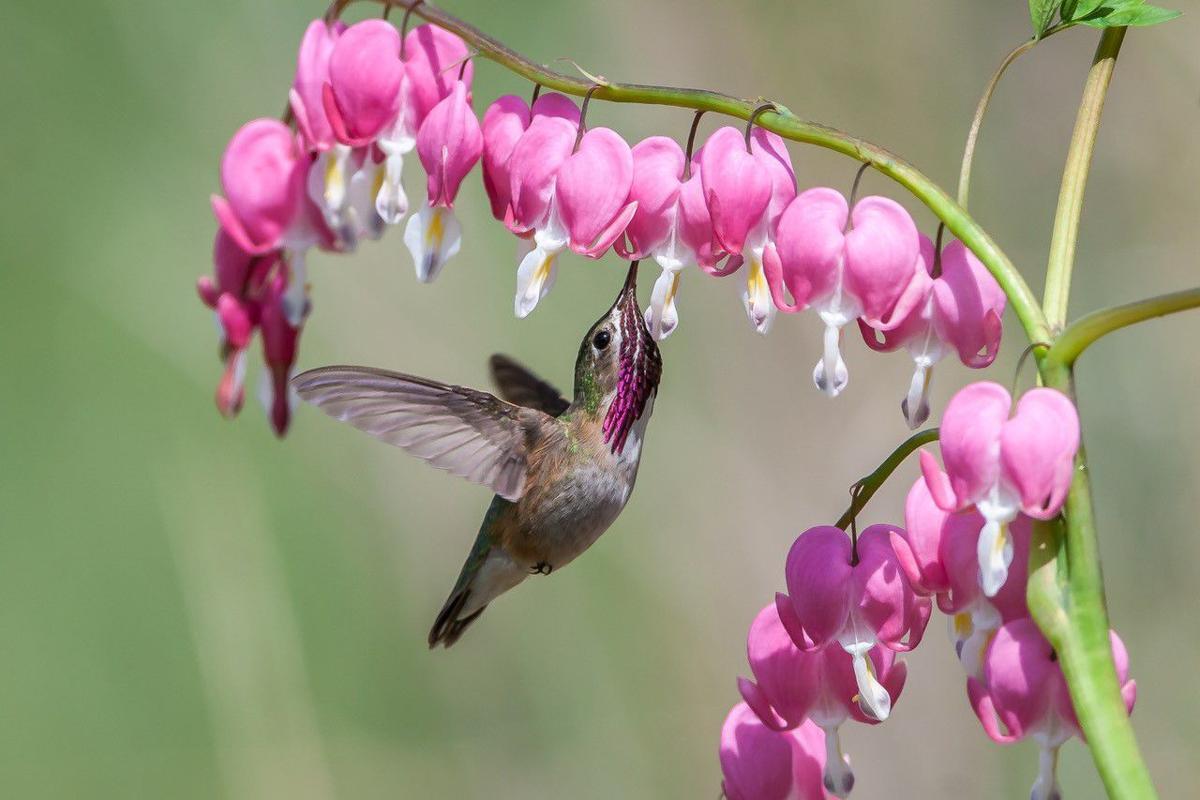 MarkPetersCalliopeHummingbird.jpg