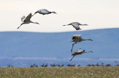 Sandhill cranes return to Othello for 20th annual festival