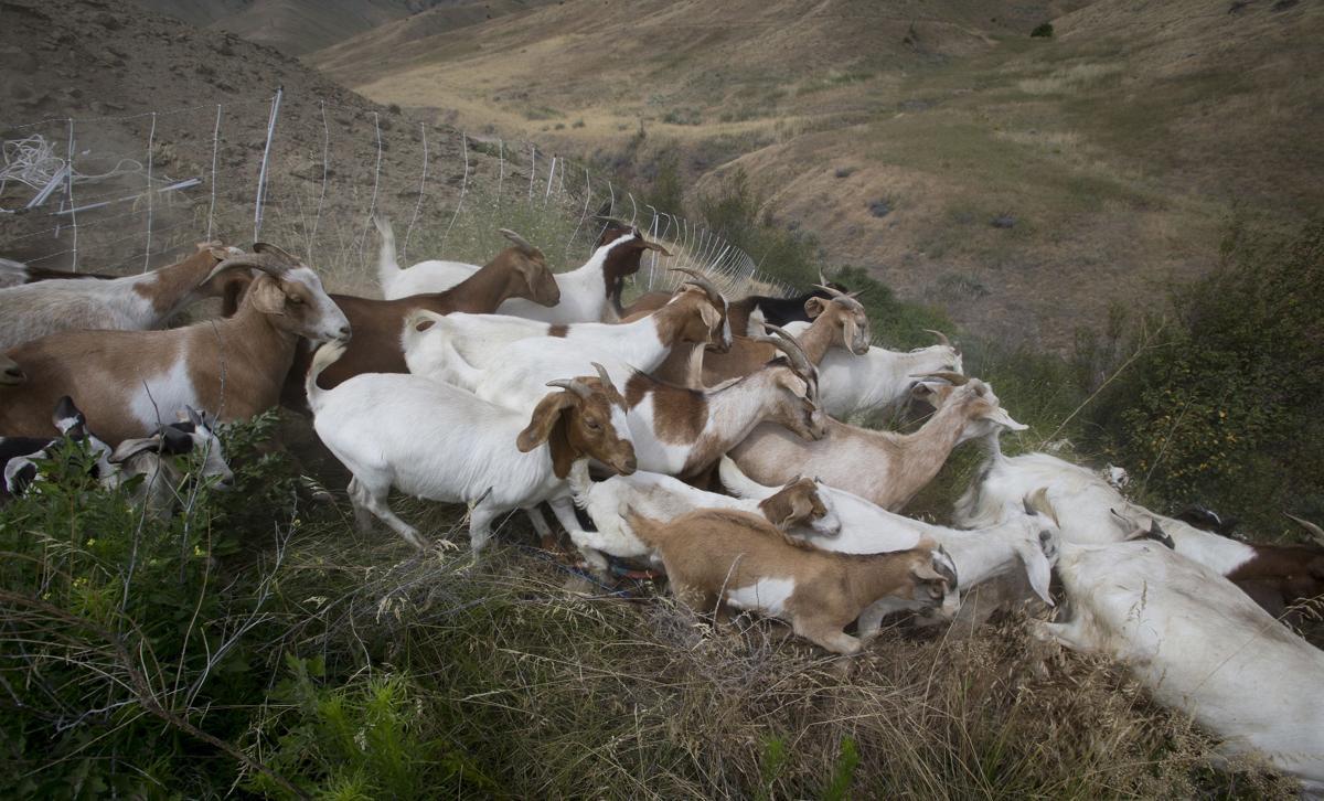 190710-newslocal-goats 04.jpg