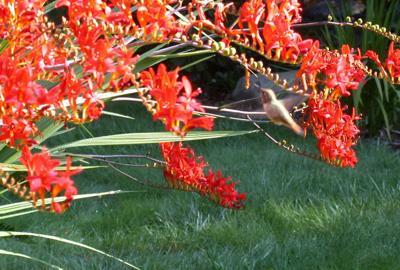 Crocosmia is popular with hummingbirds