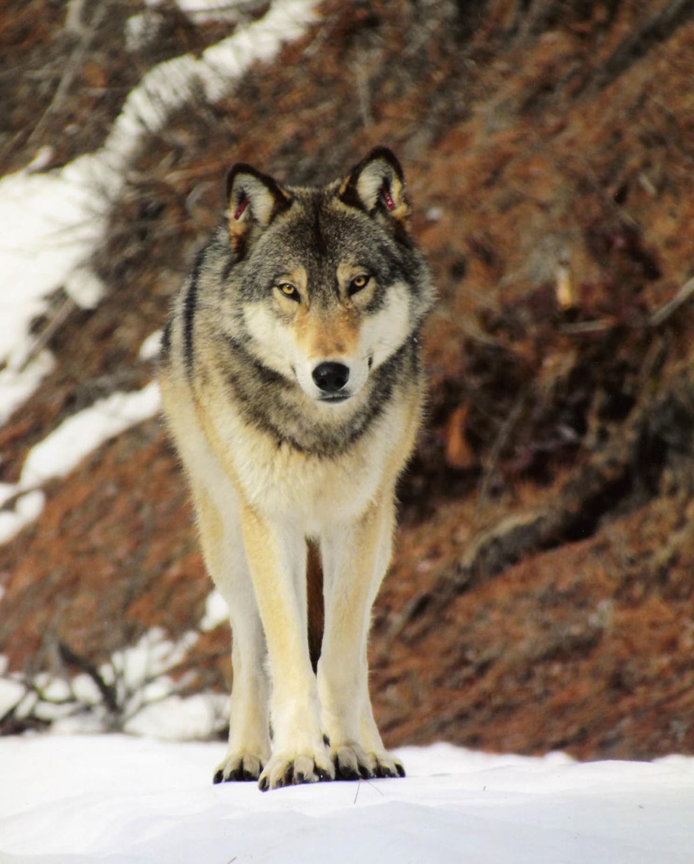 Wolf - Craig Monette.jpg