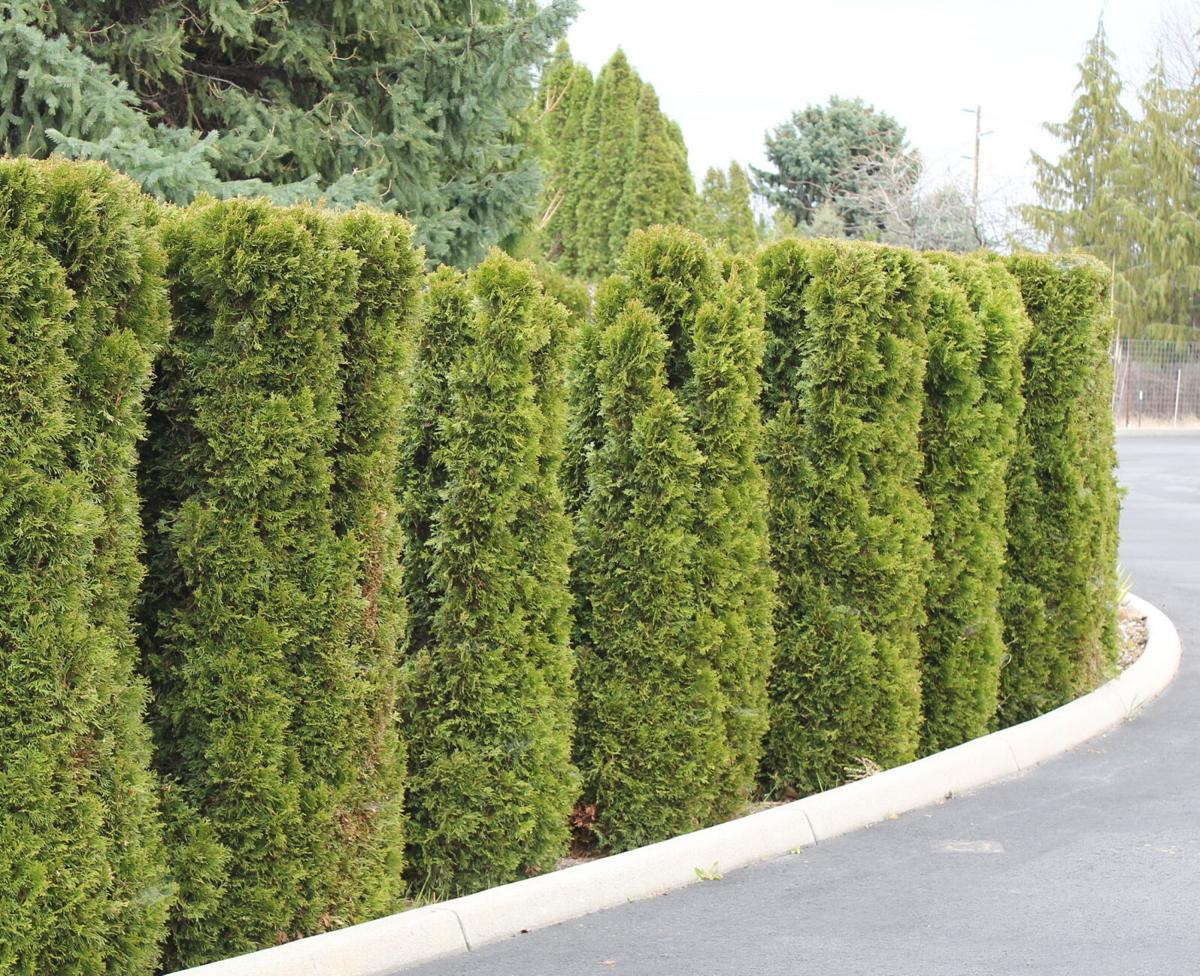 Learn about arborvitae and alternatives before planting a hedge