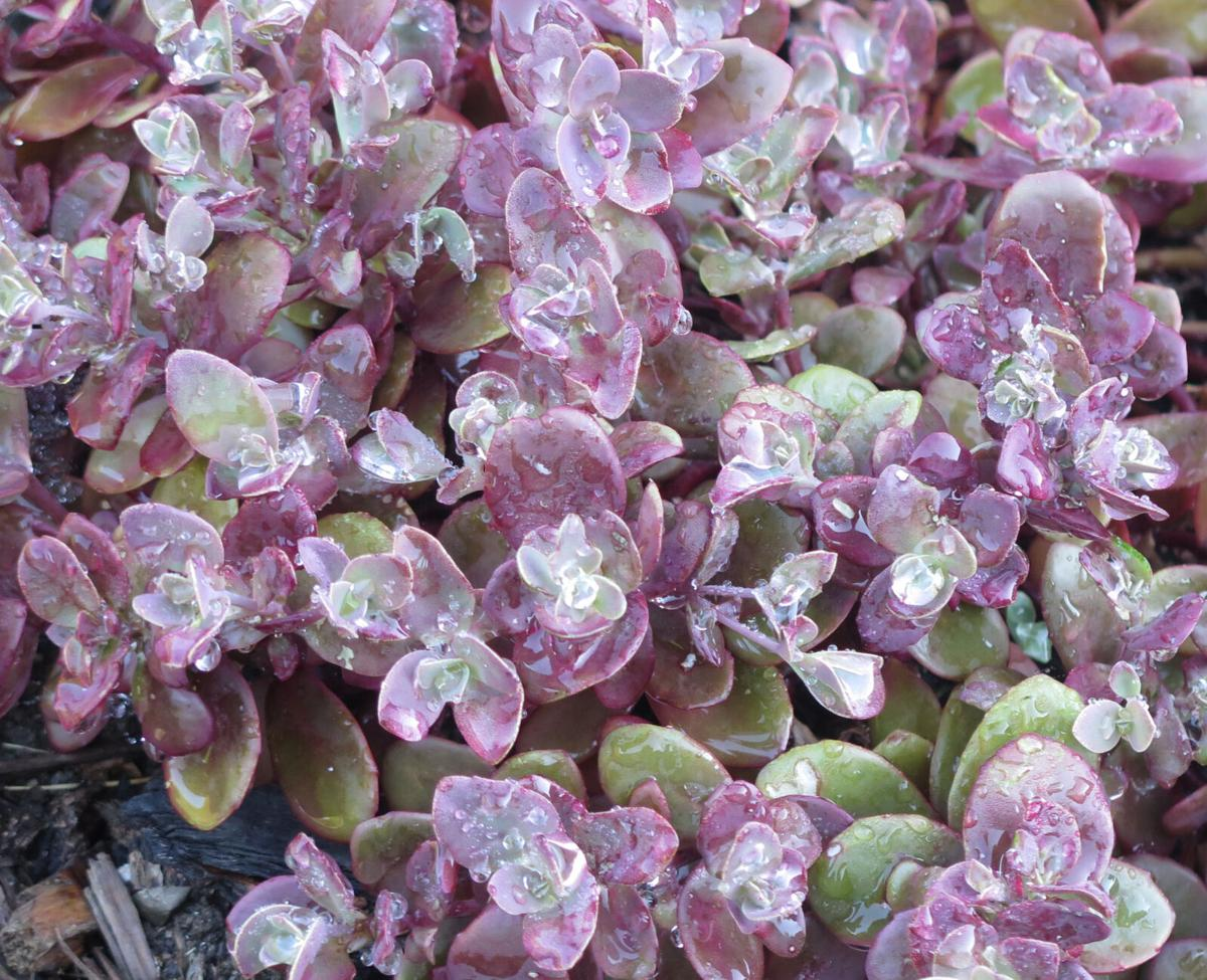 Look to Sedums for low maintenance, color and heat tolerance