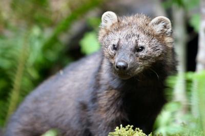 Game camera captures image of rare animal