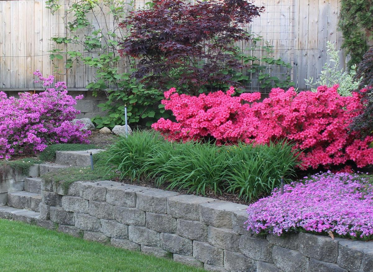 backyard azaleas 1.jpg