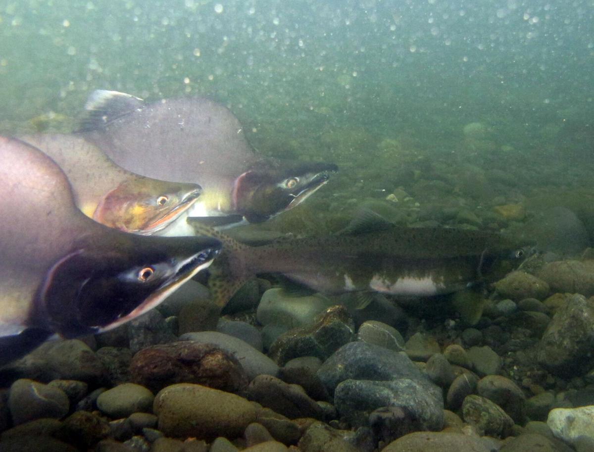 210929-cc-surprisesalmonpink-salmon.jpg