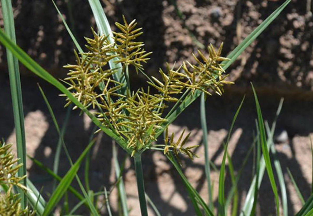Yellow nutsedge weed