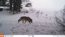 State confirms wolf pack near Kittitas-Chelan line