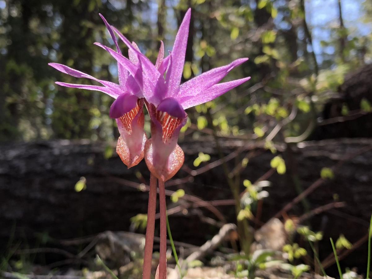 Calypso Orchid.jpg