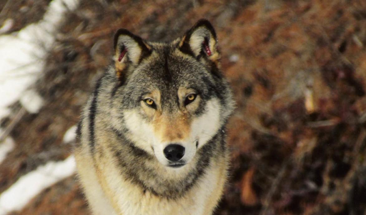 Wolf Ardenvoir