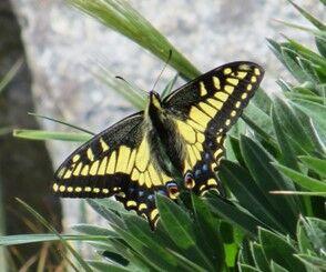 Butterfly on Klone Peak.jpg