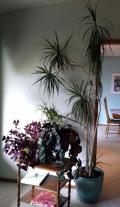 Houseplants appreciate special summer care
