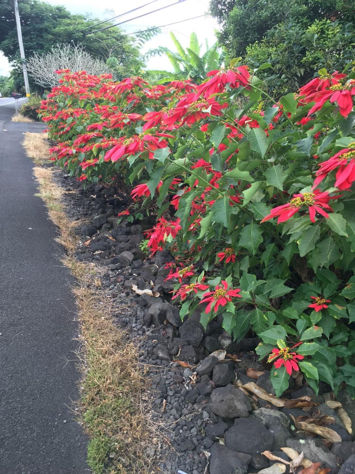 Wild poinsettias grow in Hawaii