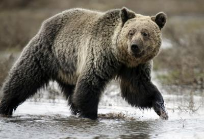 Grizzly plan could move forward with new option