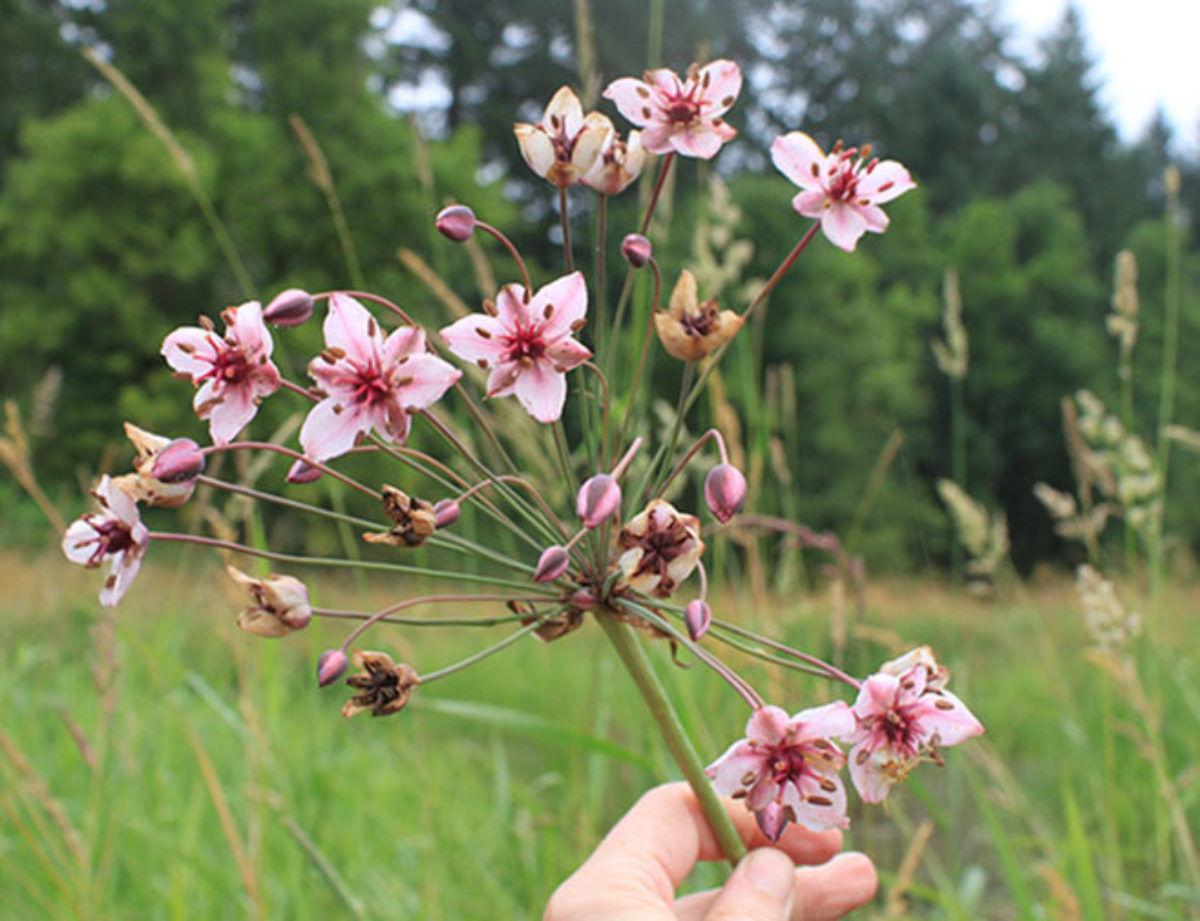 floweringrush16.jpg